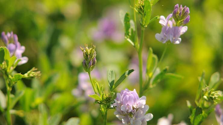 plantas medicinales alfalfa - Las plantas medicinales más poderosas de la naturaleza