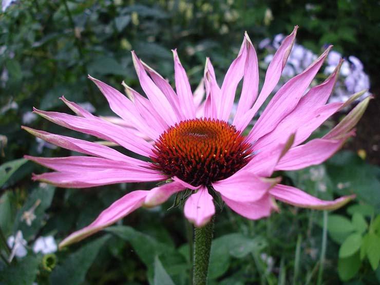 plantas medicinales equinacea - Las plantas medicinales más poderosas de la naturaleza