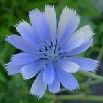 Achicoria Flores de Bach
