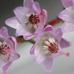 Brezo Flores de Bach