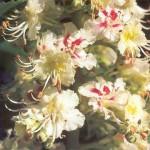 Castaño de Indias Flores de Bach 150x150 Flores de Bach