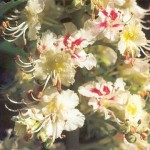 Castaño de Indias Flores de Bach