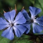 Ceratostigma Flores de Bach
