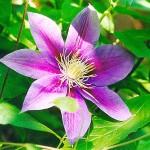 Clemátide Flores de Bach
