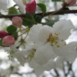 Manzano silvestre flores de Bach 150x150 Flores de Bach