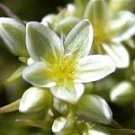 Scleranthus Flores de Bach