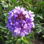 Verbena Flores de Bach
