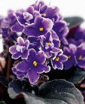 Violeta Africana-Plantas para Rituales-