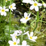Violeta de agua Flores de Bach