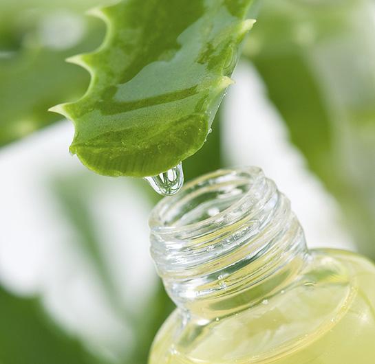 Aloe Vera la planta curativa mas antigua - Aloe Vera, la planta curativa más antigua
