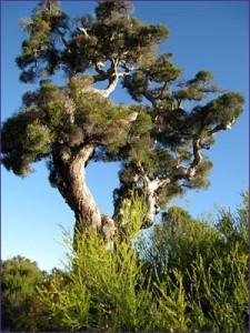 Propiedades y beneficios del aceite del arbol de te e1346807047152 225x300 Propiedades y beneficios del aceite del árbol de té