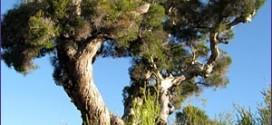 Propiedades y beneficios del aceite del árbol de té