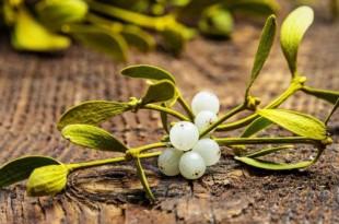 muerdago plantas magicas 310x205 - El muérdago, una de las plantas mágicas más importantes