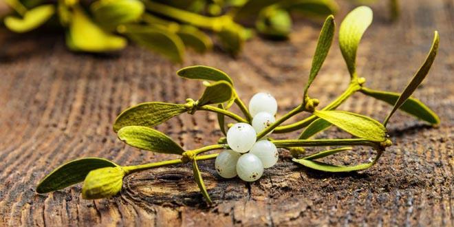 muerdago plantas magicas - El muérdago, una de las plantas mágicas más importantes