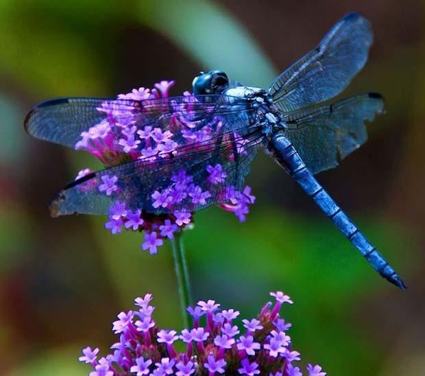mensaje espiritual de libelulas - El mensaje espiritual de las libélulas