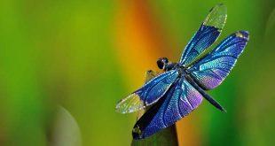 mensaje espiritual libelulas 310x165 - El mensaje espiritual de las libélulas
