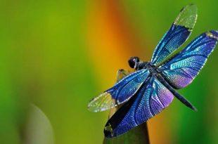 mensaje espiritual libelulas 310x205 - El mensaje espiritual de las libélulas